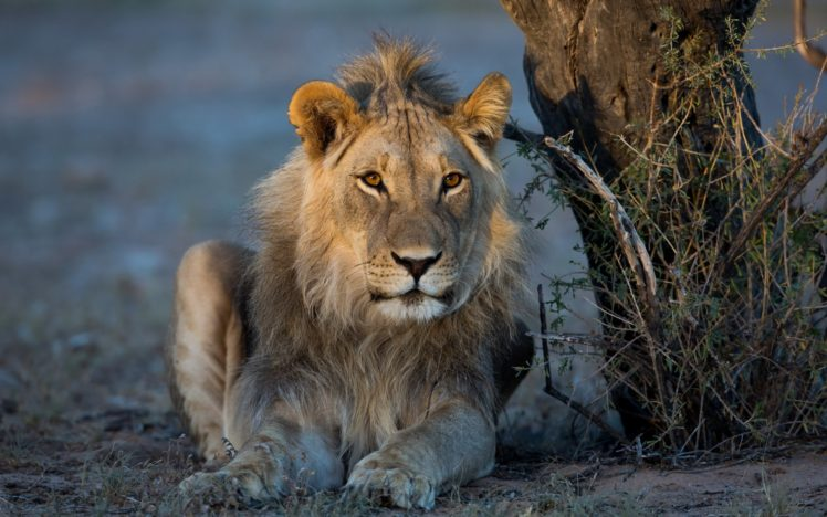 big cats, Lion, Animals HD Wallpaper Desktop Background