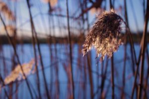 reeds, Nature, Macro, Outdoors