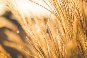 nature, Wheat, Field, Depth of field