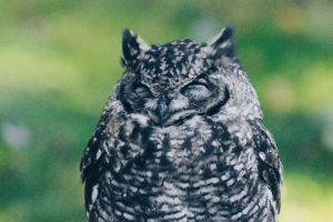 owl, Birds, Bird of prey