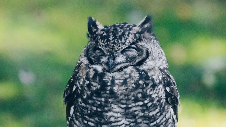 owl, Birds, Bird of prey HD Wallpaper Desktop Background