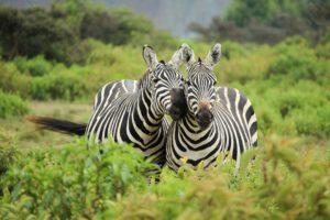 zebras, Landscape