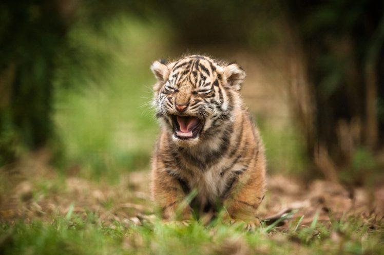 wildlife, Tiger, Depth of field HD Wallpaper Desktop Background