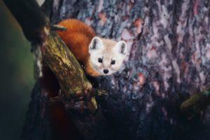 depth of field, Fox, Red panda