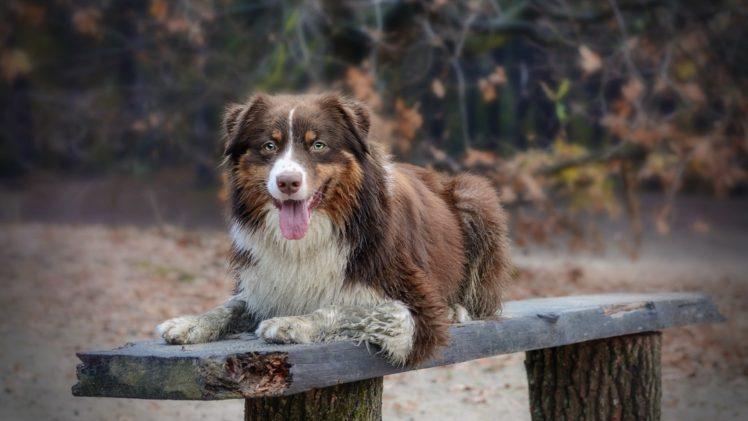 dog, Animals HD Wallpaper Desktop Background