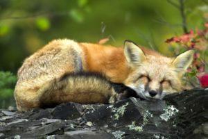 fox, Sleeping