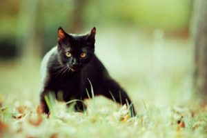 animals, Cat, Black cats