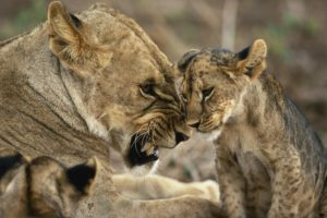animals, Cat, Big cats, Lion