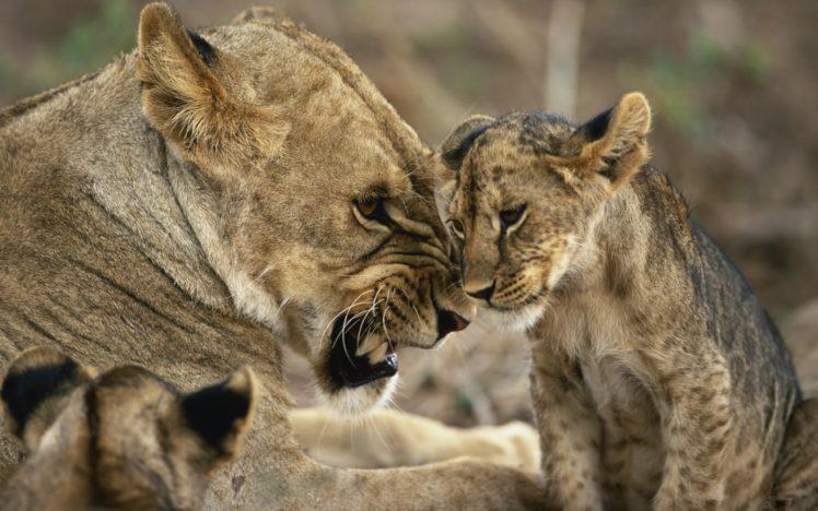 animals, Cat, Big cats, Lion HD Wallpaper Desktop Background