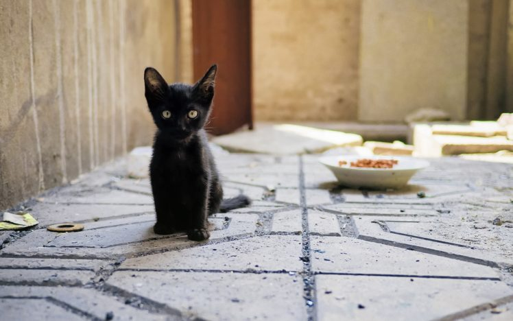 cat, Kittens, Baby animals, Animals HD Wallpaper Desktop Background