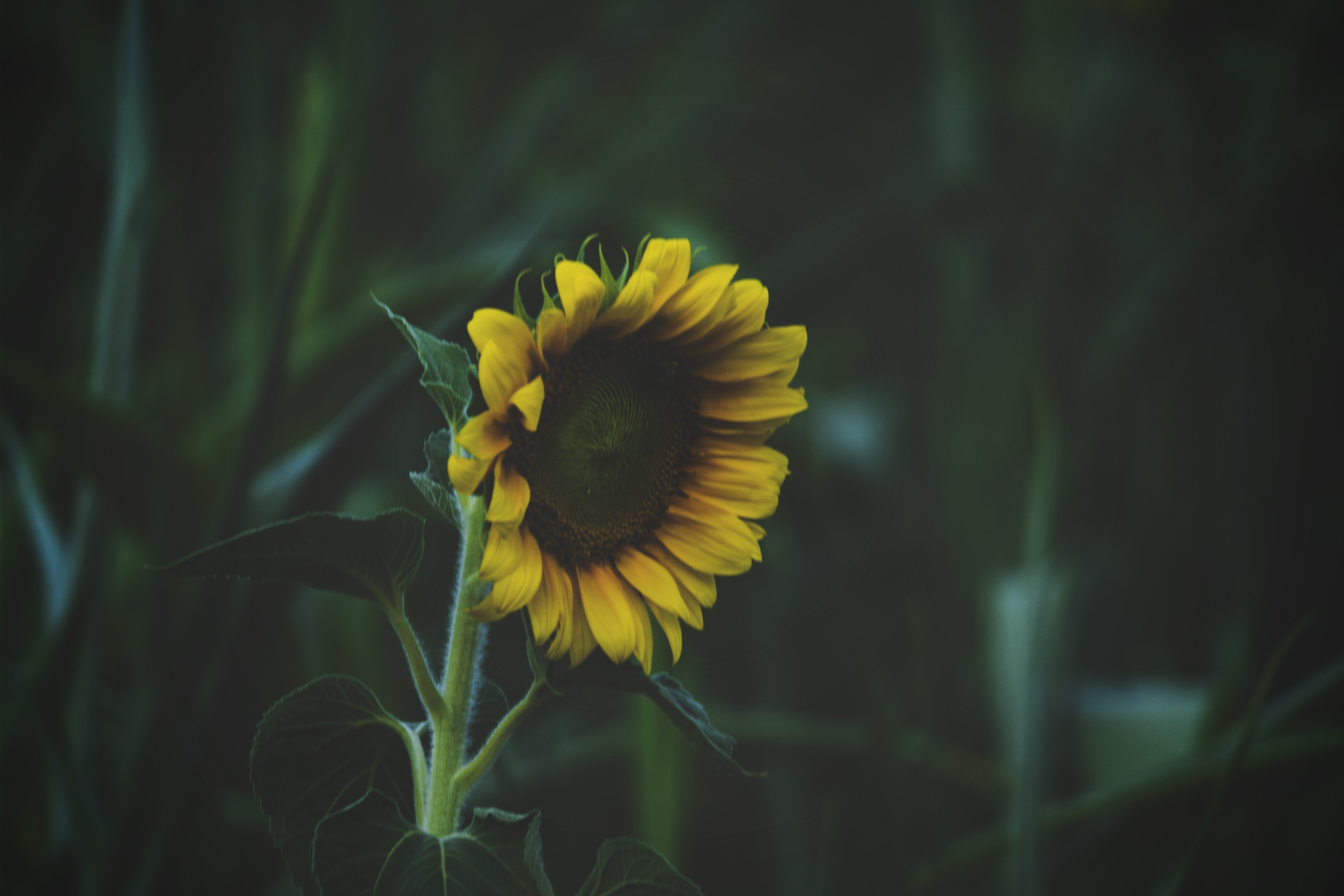 Sunflowers, Flowers, Nature HD Wallpapers / Desktop And