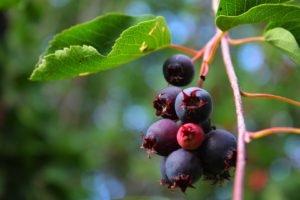 blueberries, Food