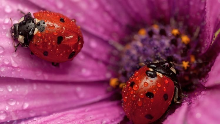 ladybugs HD Wallpaper Desktop Background