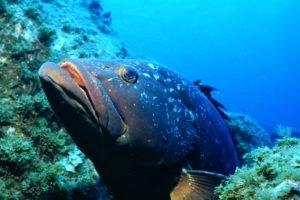 brazilian grouper, Fish, Underwater