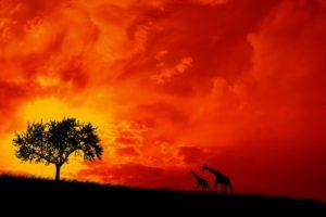 Africa, Savannah, Giraffes