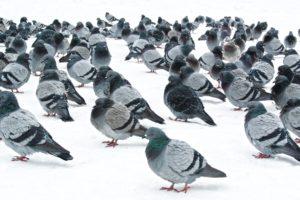 pigeons, Snow
