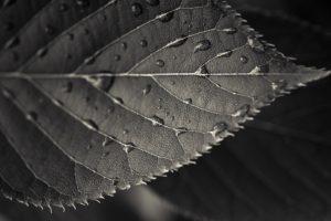 photography, Macro, Sepia, Leaves, Water drops