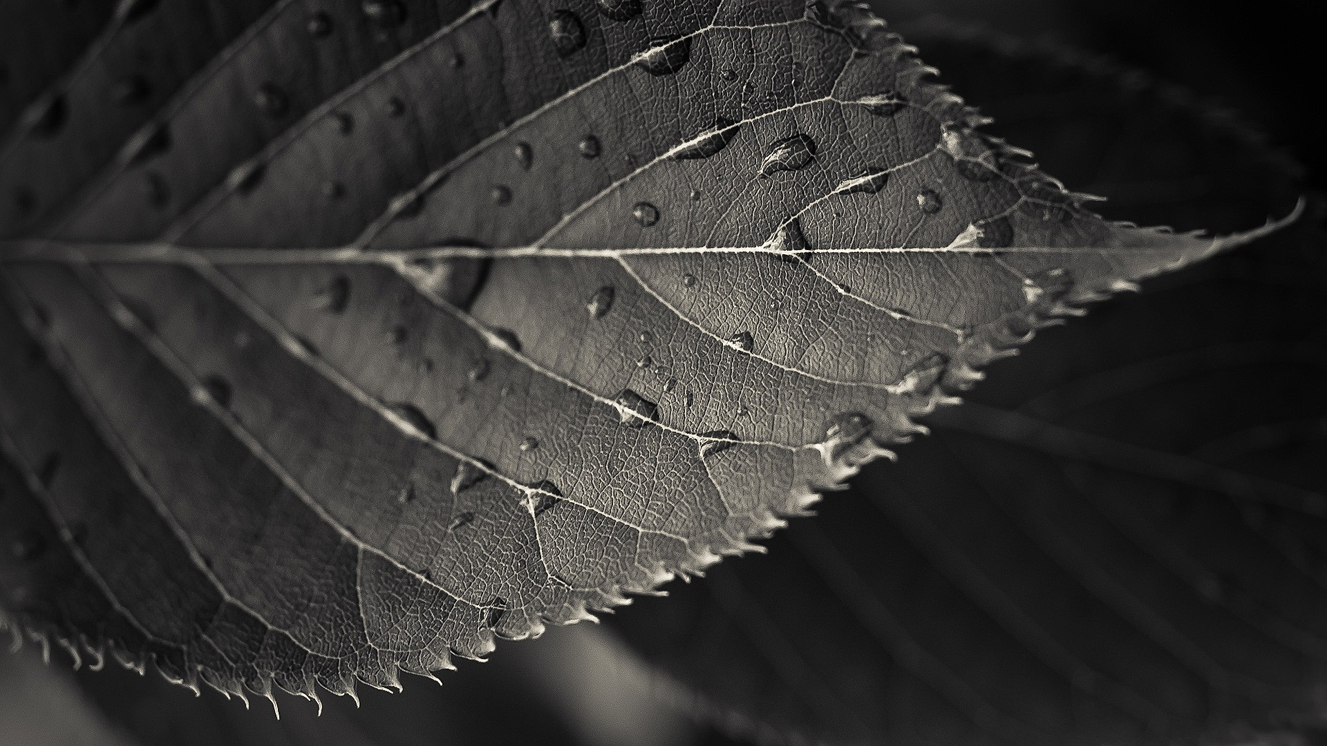 Homtom Mobile Full Hd Potos: Photography, Macro, Sepia, Leaves, Water Drops HD