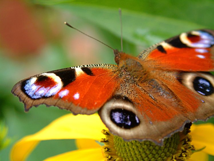 butterfly HD Wallpaper Desktop Background