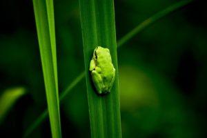 frog, Amphibian, Leaves