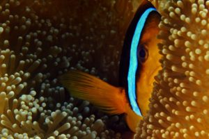 clownfish, Fish, Sea anemones, National Geographic