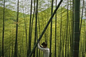 bamboo, National Geographic