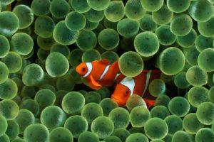 sea anemones, Fish, Clownfish, Underwater