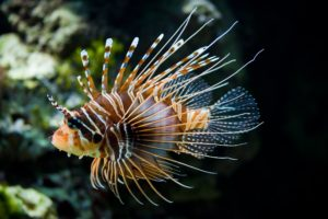 lionfish, Fish