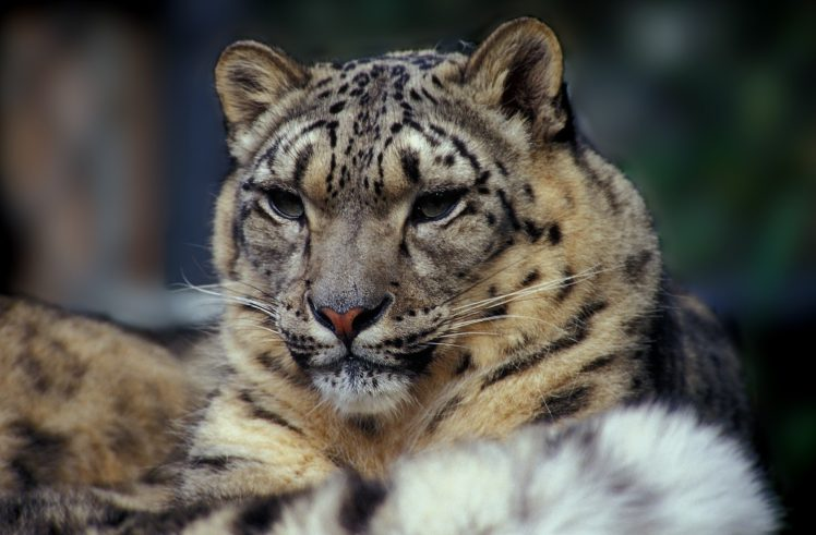 Snow Leopards Hd Wallpapers Desktop And Mobile Images Photos