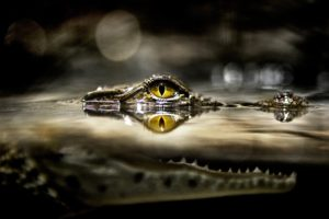 split view, Alligators, Reptile, Water, Bokeh