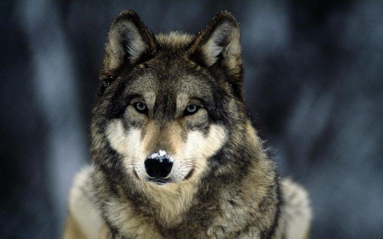 wolf HD Wallpaper Desktop Background
