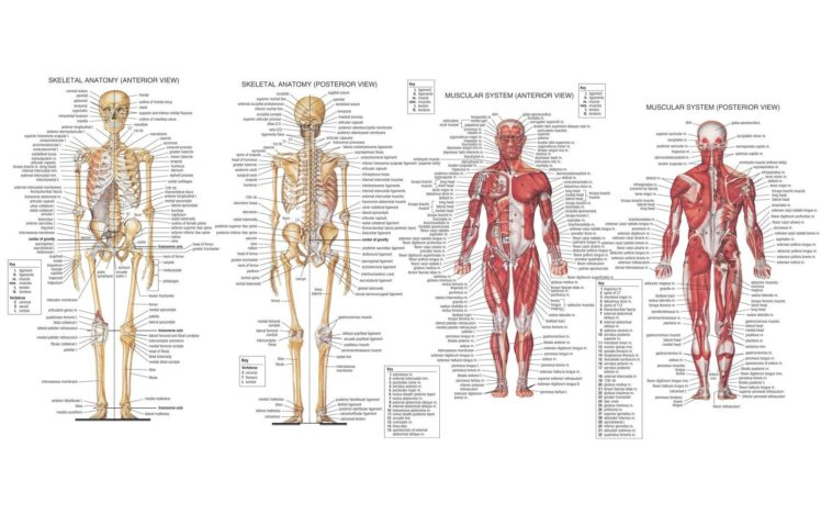 Anatomy Muscles Skeleton Hd Wallpapers Desktop And Mobile Images