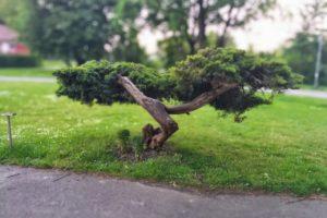 trees, Bonsai