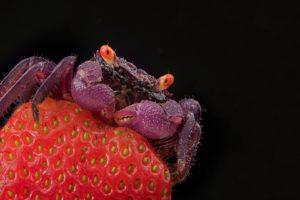 crabs, Strawberries, Crustaceans