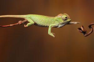chameleons, Jumping, Reptile