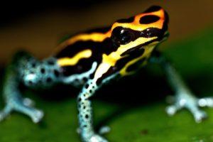 depth of field, Frog, Macro, Amphibian, Poison dart frogs