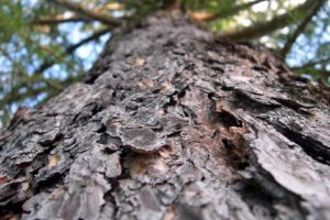 depth of field, Trees, Spruce, Bark, Worms eye view