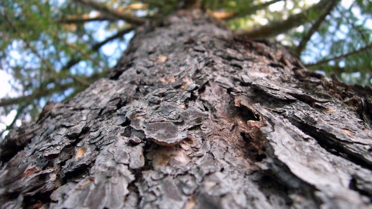 depth of field, Trees, Spruce, Bark, Worms eye view HD Wallpaper Desktop Background