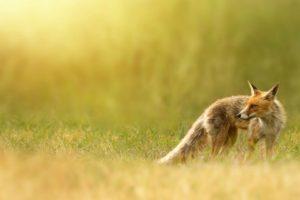 depth of field, Fox