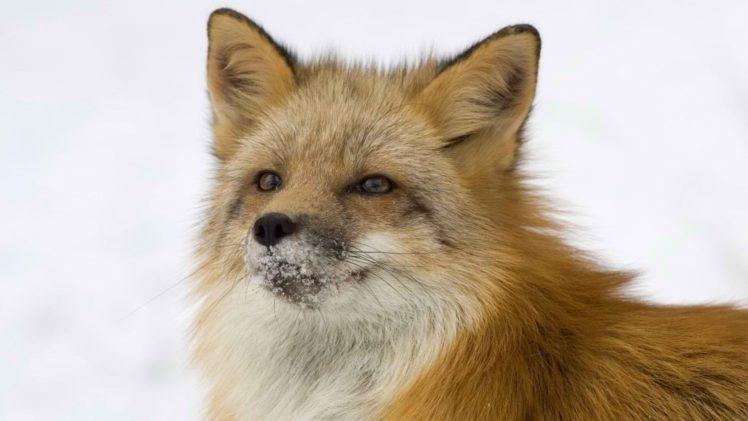 fox HD Wallpaper Desktop Background