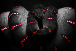 red, Black, Selective coloring, Reptile, Boa constrictor