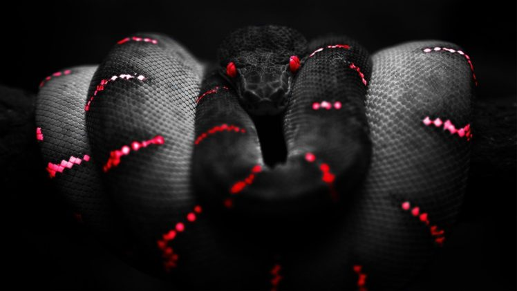 Red Black Selective Coloring Reptile Boa Constrictor Hd