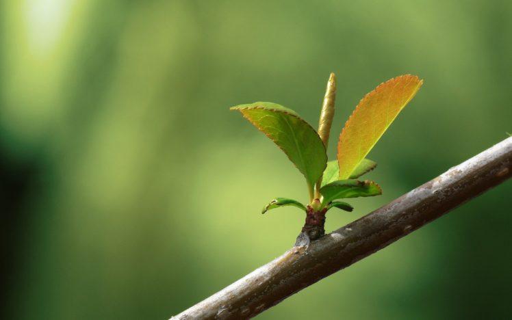 leaves, Branch HD Wallpaper Desktop Background