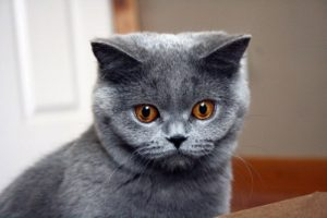 blue, British shorthair