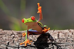 middle finger, Frog, Amphibian, Red Eyed Tree Frogs