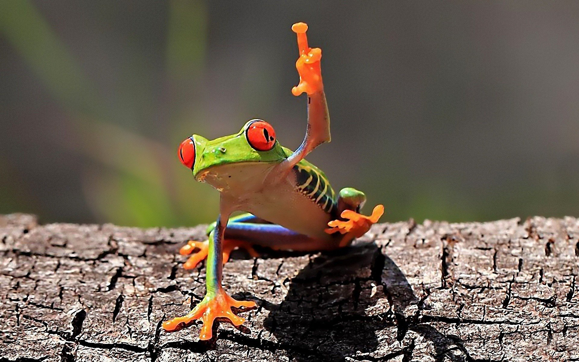 Middle Finger Frog Amphibian Red Eyed Tree Frogs Hd Wallpapers Desktop And Mobile Images Photos