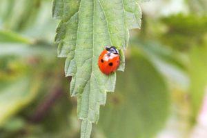 ladybugs, Giresun, Turkey