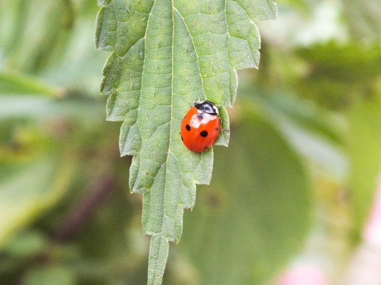 ladybugs, Giresun, Turkey HD Wallpaper Desktop Background