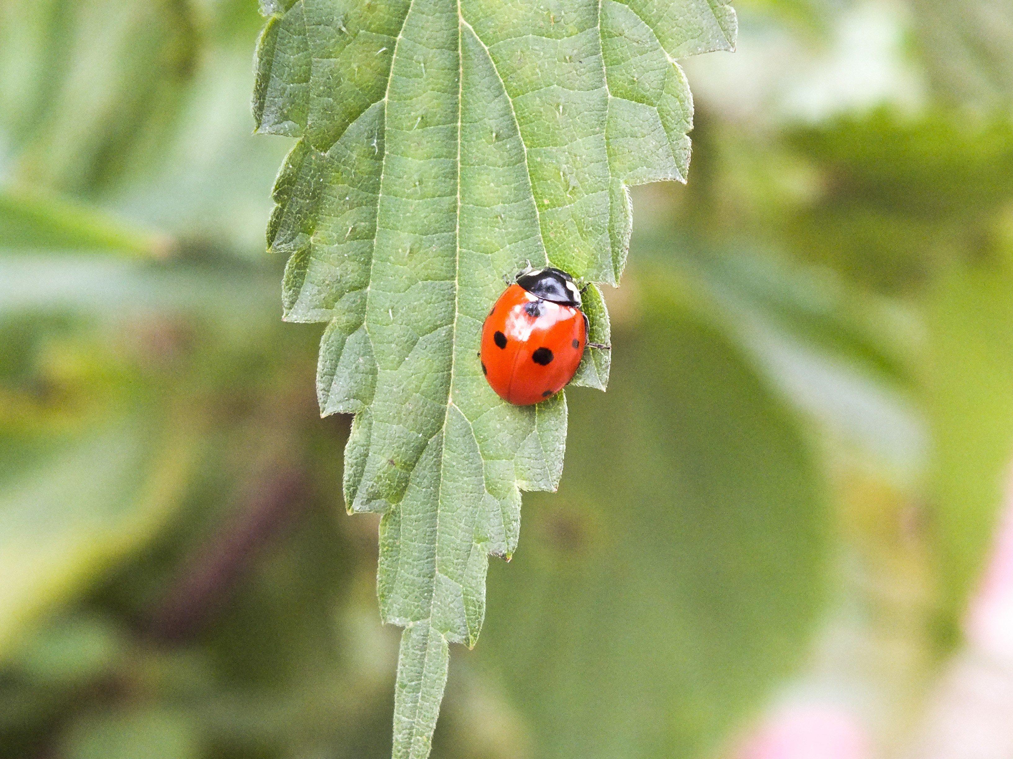 ladybugs, Giresun, Turkey Wallpaper