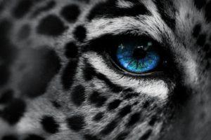 leopard, Snow leopards